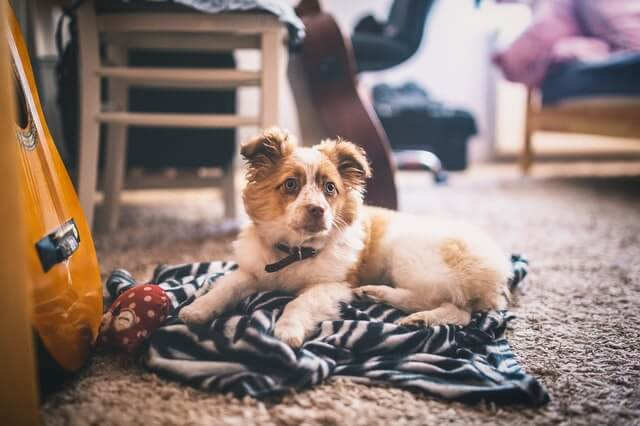 3 Essential Cleaning Tips for Homes with Pet Dogs